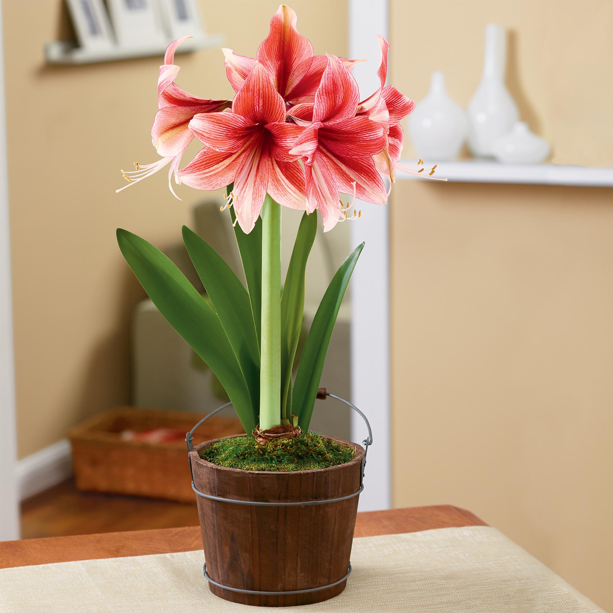 фото цветка амариллис официальном